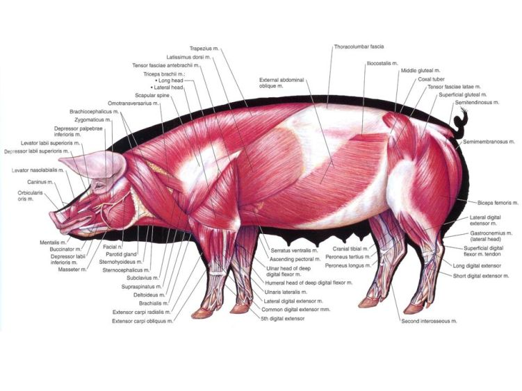anatomy of the pig