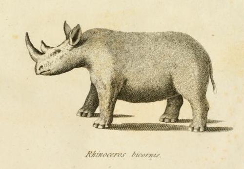 salt rhino.png