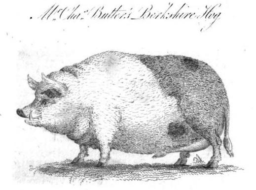 Berkshire Hog.png
