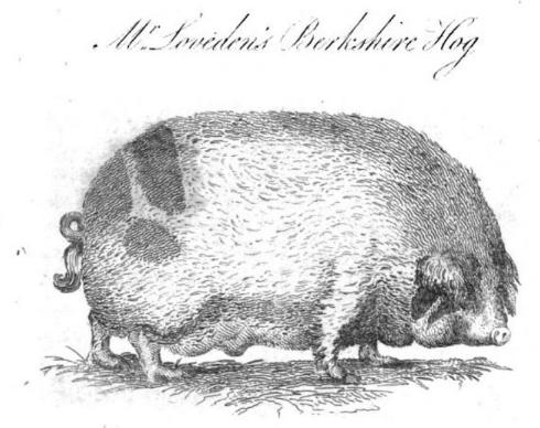 Berkshire Hog2.png