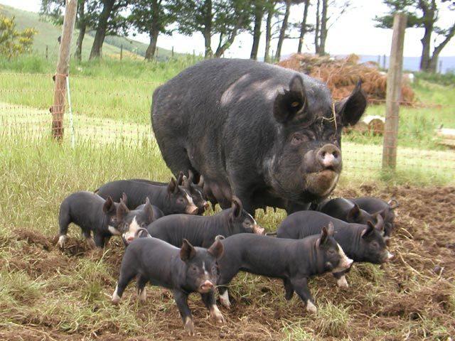 berkshire-pig-outdoors.jpg