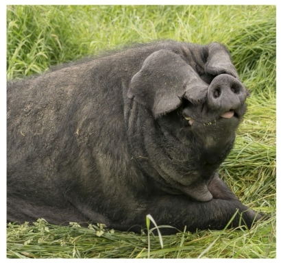 Large Black Pig 2.jpg
