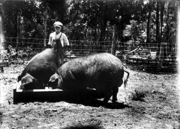 Poland_China_pigs_in_Florida