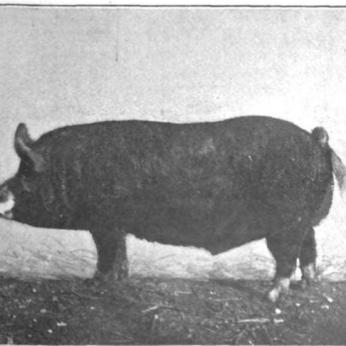 SA Berkshire Hog