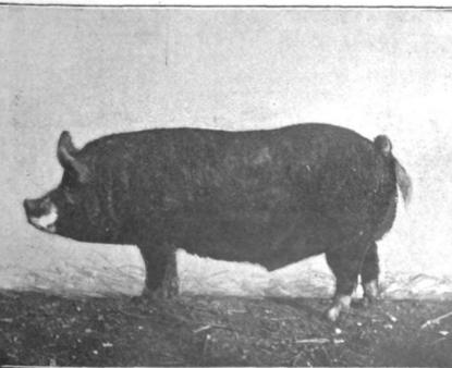 SA Berkshire Hog.png