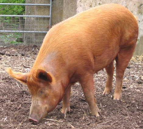 Tamworth Pig.jpg