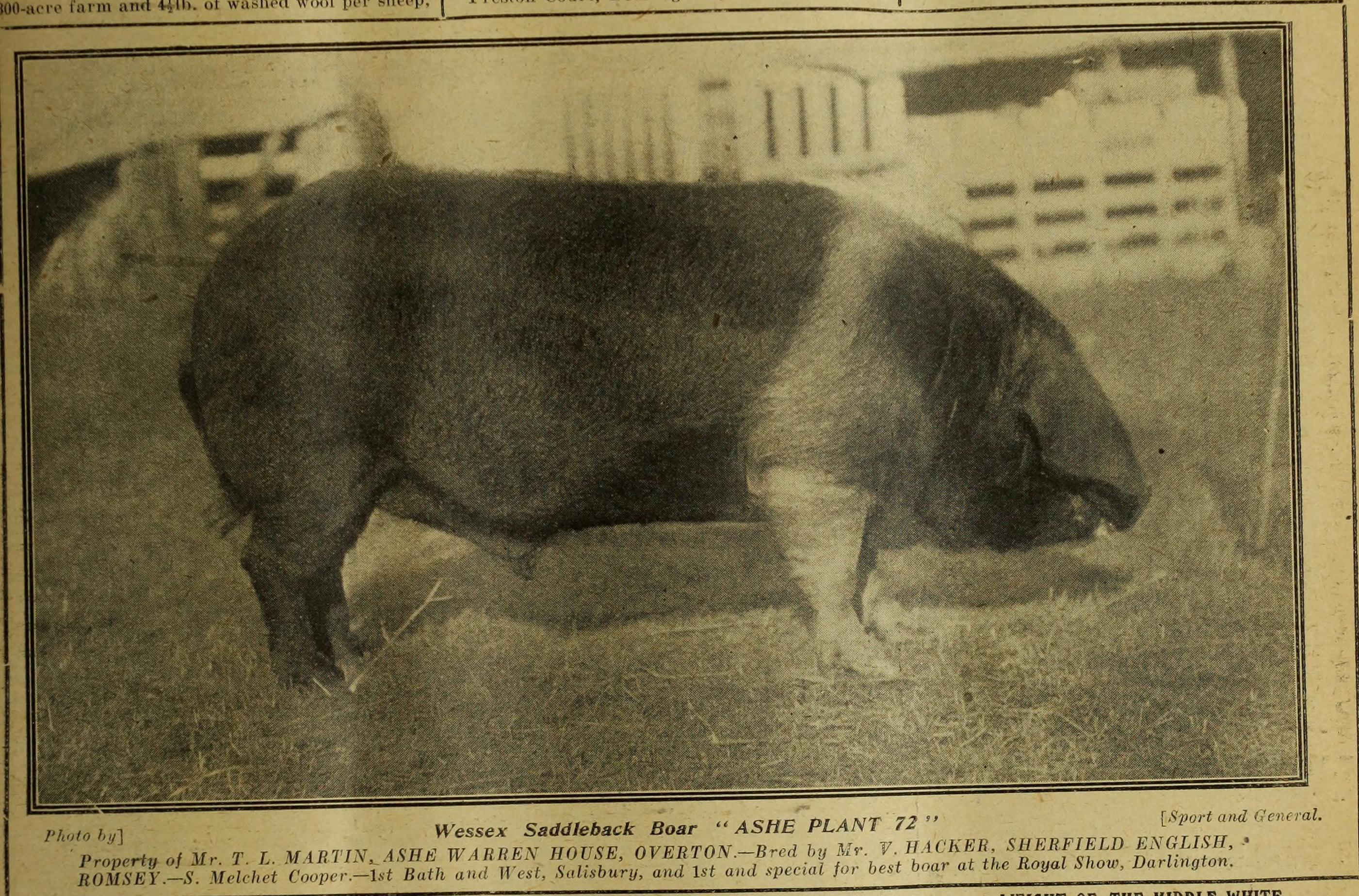 Wessex Saddleback - Farmer_and_stockbreeder_(1920)_(14774931601).jpg