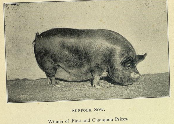 pig 3.png