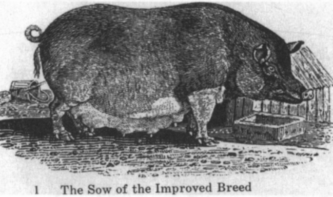 sow-of-an-improved-breed