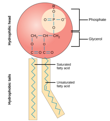 phospholipids
